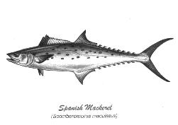 spmackerel